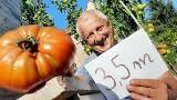 Prawie czterometrowe pomidory pana Zbigniewa. Działkowicz z Zielonej Góry chce pobić Rekord Guiness'a