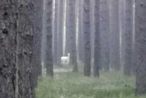 Biały jeleń w lesie w okolicy Kup.
