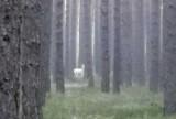 """Kup, Opolskie. Biały jeleń widziany w lesie w okolicy Kup. Zwierzę podczas spaceru """"upolowała"""" Czytelniczka nto"""