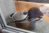 Szczur na inowrocławskim balkonie. Mamy odpowiedź spółdzielni