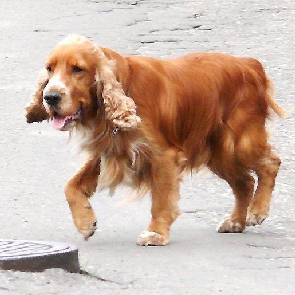 Dzięki czipom bez problemu można ustalić,  kto jest właścicielem zwierzaka, gdy pupil się  zgubi, albo gdy nabrudzi na chodniku.
