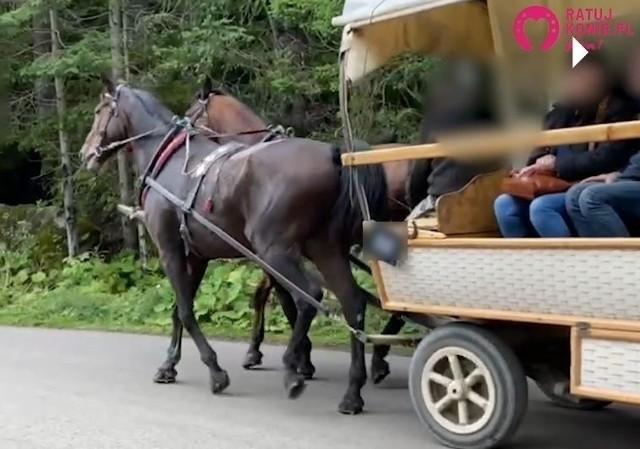 Kadr z filmu, jaki zrobiła jedna z turystek. Według animalsów nagrany koń kulał. Lekarze weterynarii tego nie potwierdzają.