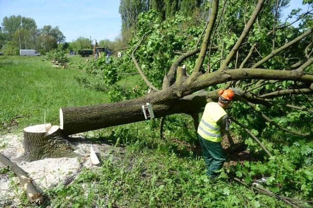 Od 17 czerwca planowaną wycinkę drzew trzeba zgłaszać do wydziałów ochrony środowiska