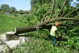 Koniec Lex Szyszko nie oznacza końca wycinki dorodnych drzew