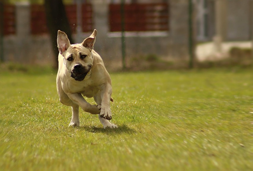 Rasa psów wyhodowanych w celach obrony gospodarstw....