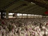 Ognisko ptasiej grypy na Podkarpaciu! Chorobę wykryto na fermie indyków