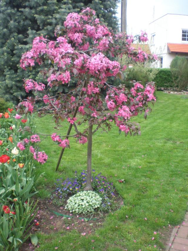 Kwitnąca rajska jabłońRajska jabłoń kwitnie w kwietniu intensywnie najczęściej różowymi, czerwonymi i purpurowymi kwiatami. Są też odmiany jabłoni ozdobnych, które kwitną na biało.