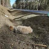 Martwy wilk znaleziony przy drodze w powiecie grodziskim. Co było przyczyną jego śmierci?