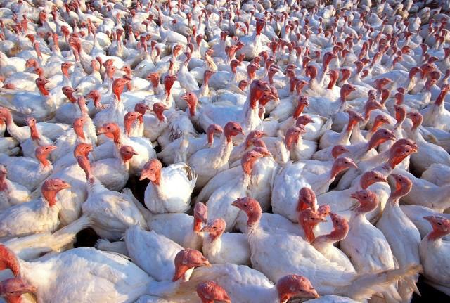 Ptasią grypę wykryto na fermach indyków
