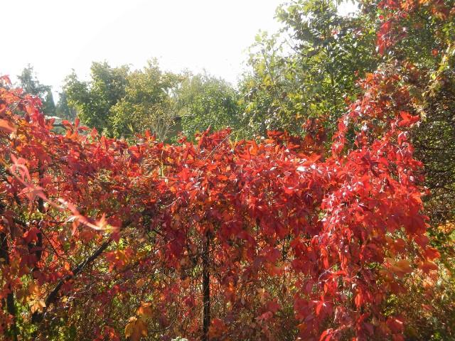 Jesienne liście jarzą się w słońcu purpurą. Takie widoki będziemy oglądać w najbliższe dni
