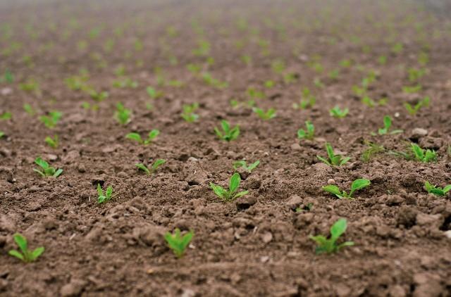 Buraki cukrowe zostały posiane w Polsce w 2021 roku na powierzchni ok. 200 tys. hektarów.