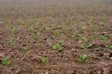 Kłopoty buraków cukrowych. Jak warunki pogodowe wiosną 2021 wpływają na uprawy?
