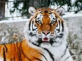 Tygrysica z zoo w Nowym Jorku zakażona koronawirusem. Zaraził ją człowiek