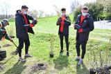 Piłkarze Korony Kielce sadzili drzewka w Parku Górki Czarnowskie. Byli Dawid Lisowski, Mario Zebić i Marcin Szpakowski [ZDJĘCIA]