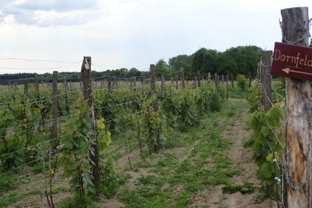 Winorośl – jakie i gdzie zamówić sadzonki. Jak zaplanować nasadzenia- Podstawą sukcesu w uprawie winorośli jest zakup odpowiednich sadzonek. Na odpowiednim podkładzie poradzą sobie nawet w niezbyt sprzyjających warunkach glebowych - radzi Mariusz Pacholak z Winnicy Cantina.