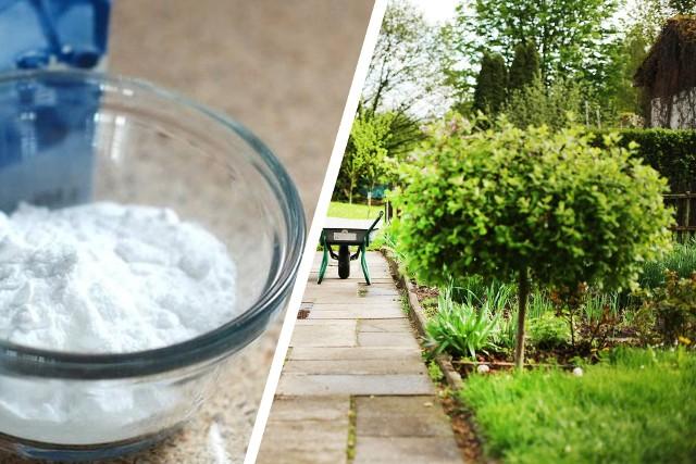 Soda oczyszczona pomoże zadbać o rośliny, ochronić je przed szkodnikami i utrzymać porządek w ogrodzie.Zobacz, jak ją stosować w ogrodzie >>>
