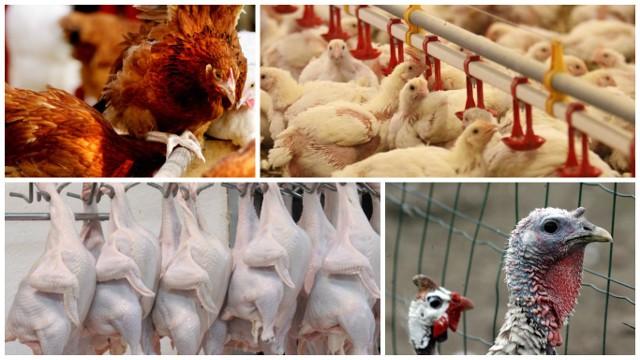 Rynek drobiu w obliczu ptasiej grypy - gdzie są problemy z eksportemChoć liczba potwierdzonych w kraju ognisk ptasiej grypy  nie jest zaskakująco wysoka, to niepokoi jej zasięg terytorialny. W ciągu niespełna dwóch miesięcy obecność wirusa została potwierdzona na terytorium 7 województw
