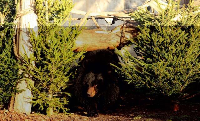 Niedźwiedź brunatny żywi się przede wszystkim roślinami (jagody, jarzębina), ale nie pogardzi mięsem