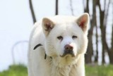Akita pogryzł 10-latkę. Dlaczego pies zaatakował dziecko? Co wywołało agresję psa? [ZDJĘCIA]