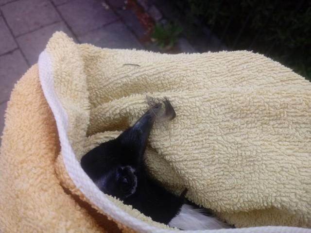 Ranna sroka jest już pod opieką Fundacji dla Dzikich Zwierząt Larus. Jest mocno pokiereszowana, ale dostała szansę i jest leczona.