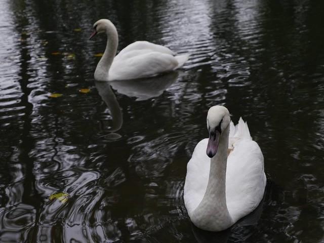 Dwa łabędzie już pływają razem w stawie w Parku Miejskim