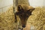 """Potrącony wilk, nazwany Klincz, trafił już do Ośrodka Rehabilitacji """"Mysikrólik"""". Udało się go uratować dzięki weterynarzowi z Bytowa"""