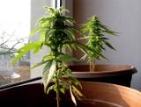 W Sejmie pracują nad legalizacją uprawy marihuany medycznej w Polsce. O ile tańszy będzie gram?