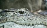 Krokodyl może pływać w Odrze! Uciekł z hodowli w Czechach