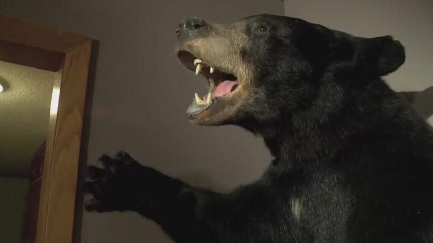 Niedźwiedź zaatakował myśliwego. Mężczyzna bronił się nożem (wideo)