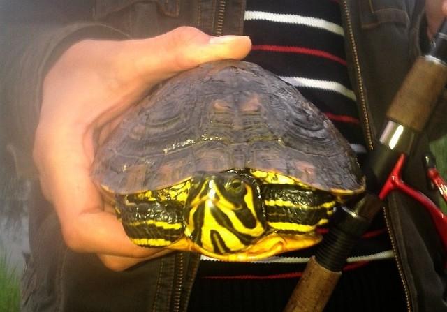 Ten żółw został wypuszczony do wody