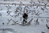 Ptasia grypa - Gdańsk w strefie wysokiego zagrożenia. Obowiązuje lista zakazów i nakazów dla mieszkańców. Nie wolno dokarmiać ptaków!