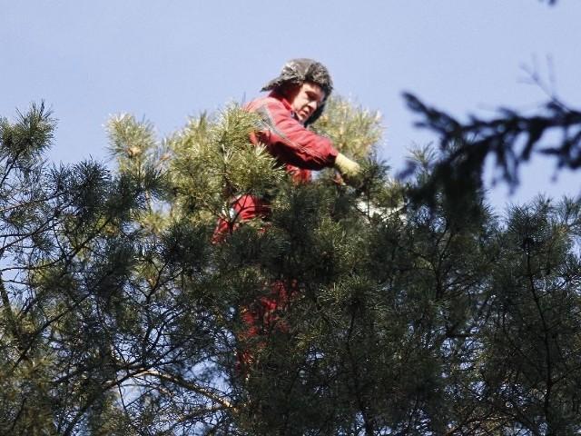 Zbieramy szyszki z samego czubka, chociaż jedną zawsze z szacunku dla drzewa zostawiamy - tłumaczy Janusz Stawowczyk z firmy Wiewiórka