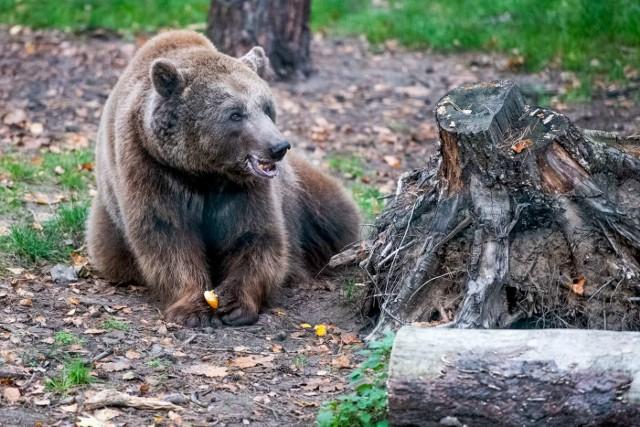 Mieszkańcy poznańskich ogrodów zoologicznych szykują się na nadejście zimy.