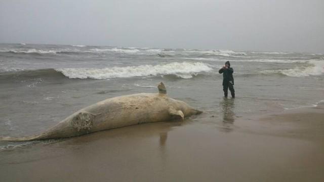 W 2013 roku pierwszy raz w historii badań na plaży pojawił się waleń butlonosy. Jest to ewenement na skalę światową. Martwy waleń butlonosy przebywa na plaży za Kanałem Jamneńskim w stronę Łaz.Czytaj więcej: Martwy waleń butlonowy na plaży niedaleko Łaz [wideo, zdjęcia]