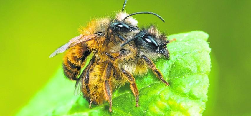 Dzikie pszczoły są kilkakrotnie bardziej skuteczne w zapylaniu od pszczoły miodnej i niezwykle pracowite