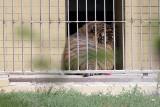 Tygrys zagryzł opiekuna wrocławskiego zoo. Sąd wskazał winnego tej tragedii