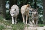 Odstrzał wilków? PZŁ przyznaje: Na terenach wiejskich mnożą się przypadki zjadania psów