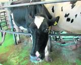 Produkcja mleka może się poprawić. Oto kilka ważnych wskazówek
