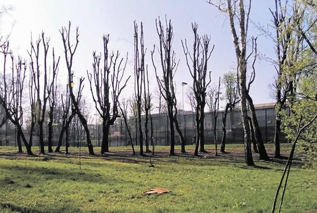 Czy po tak ostrym cięciu gałęzi, drzewa nie będą chorować? - zastanawiają się mieszkańcy i fachowcy