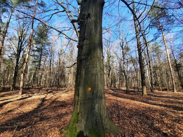 Nadleśnictwo Katowice zamierza wyciąć prawie 130 drzew w dwóch oddziałach w Lasach Murckowskich. Drzewa już oznaczono