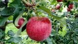 Ze względu na ocieplenie klimatu, jabłka stają się coraz mniej odporne na niekorzystne warunki pogodowe