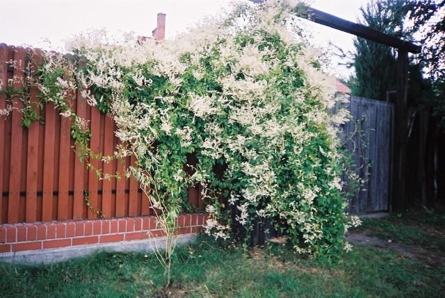 Rdest Auberta porastający ogrodzenieRdest ma wiele odmian, ale tym, który wyróżnia się szybkością wzrostu jest rdest Auberta. Liczne białe kwiatki utrzymują się na rdeście Auberta od lata aż do pierwszych mrozów.
