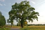 Dąb Ustrobniak z Ustrobnej koło Krosna walczy o tytuł Drzewa Roku. Głosowanie trwa do końca czerwca [ZDJĘCIA]