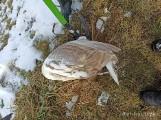 Ptasia grypa w rejonie Zatoki Puckiej? Strażacy w weekend zbierali martwe ptaki. Mają też specjalny apel