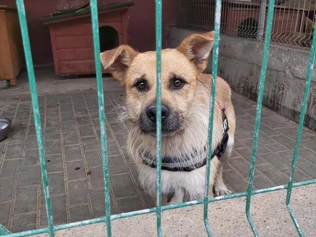 Pies Astral, średni, ma dwa lata