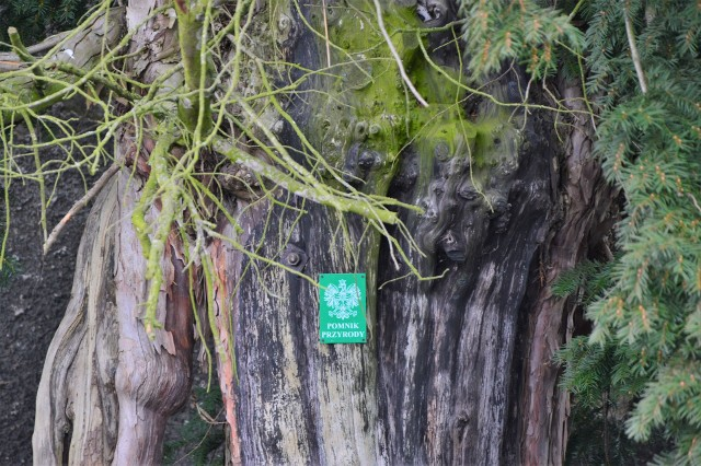 Niecałe 40 kilometrów od południowych krańców województwa lubuskiego rośnie najstarsze drzewo w Polsce.