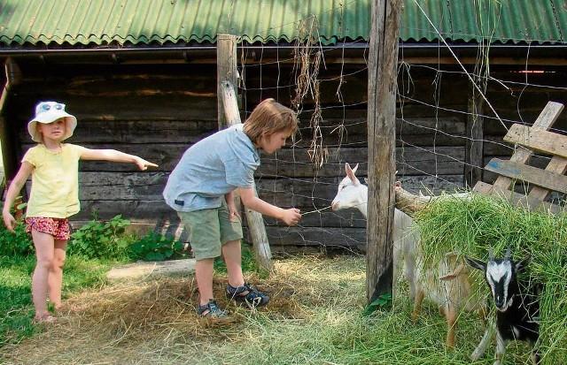 Kozy są w trakcie rejestracji, są w ogrodzonym miejscu, ale wzbudzają duże zainteresowanie dzieci