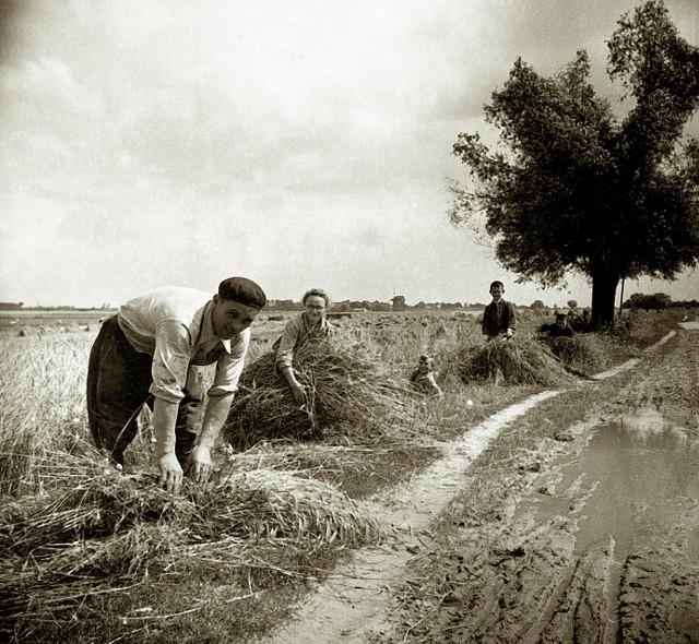 To zdjęcie wykonano podczas żniw we wsi Szczepankowo (gmina Dąbrowa) u państwa Brydów