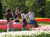 """W """"botaniku"""" zakwitły wszystkie tulipany! Jest pięknie! ZDJĘCIA. Takiej kolekcji nie ma żaden inny ogród botaniczny w Polsce"""