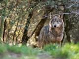 W Birczy w powiecie przemyskim wilk zagryzł i porwał psa. Właściciel znalazł jego głowę